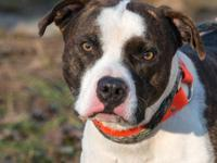 American Bulldog - Jake - Large - Adult - Male - Dog