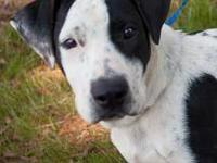 American Bulldog - Jazz - Rhs - Large - Young - Female