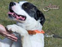 American Bulldog - Jetta--sponsored For Rescue! - Large