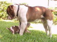 only 3 left. ABDOMINAL Puppies Born 06/12/14 shots and