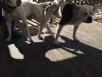 Pure bred nkc American bulldog pups 1200 each they come