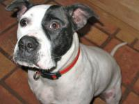 American Bulldog - Kane - Large - Adult - Male - Dog