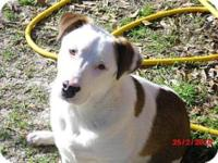 American Bulldog - Kevin - Large - Young - Male - Dog