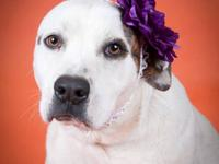American Bulldog - Kimmie - Large - Adult - Female -