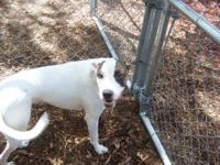 American Bulldog - Kirby - Large - Young - Male - Dog