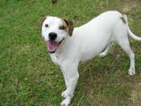 American Bulldog - Lilly - Medium - Adult - Female -