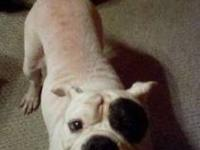American Bulldog - Lucy - Medium - Adult - Female -
