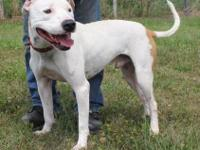 We have a 2 year old male American bulldog. He is a