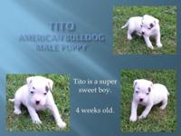 8 weeks old - nice male, shows nice type, very smart.