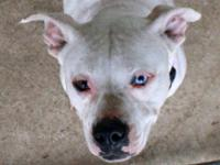 American Bulldog - Mamaz - Medium - Young - Female -