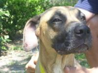 American Bulldog - Mango - Large - Adult - Female -