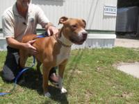 American Bulldog - Max - Medium - Young - Male - Dog
