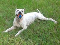 American Bulldog - Maybe - Medium - Young - Female -