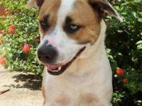 American Bulldog - Mccoy 11726 - Large - Young - Male -