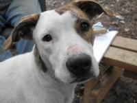 American Bulldog - Misty - Medium - Adult - Female -