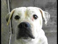 American Bulldog - Mitzi - Large - Adult - Female -