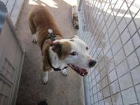 American Bulldog - Molly - Large - Adult - Female -