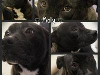 American Bulldog - Molly - Medium - Young - Female -