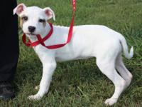 American Bulldog - Navaeh - Large - Baby - Female -