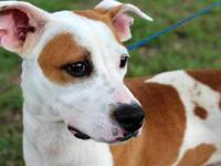 American Bulldog - Oliver - Medium - Adult - Male -
