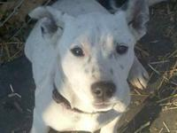 American Bulldog - Patsy - Large - Baby - Female - Dog