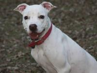 American Bulldog - Pearl - Medium - Young - Female -
