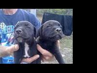 Description American bulldog pitbull mix puppies 6