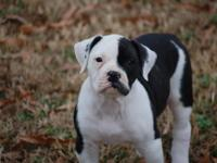 I have a female beautiful bulldog, she is spayed, all