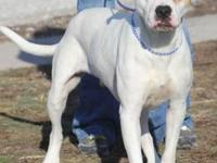 American Bulldog - Playboy - Large - Young - Male -