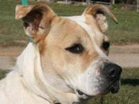 American Bulldog - Poppy - Medium - Adult - Female -