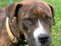 American Bulldog - Precious - Medium - Adult - Female -