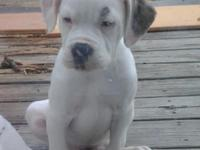 AMERICAN BULLDOG PUP ... MISSY (Female) is 11 Weeks