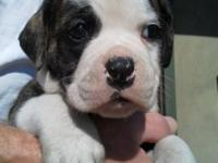 Adorable American Bulldog puppies - These puppies are