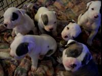 NKC Registered Purebred American Bulldog Puppies WITH