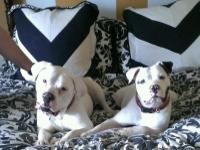 Scott/ Johnson full bloodded American Bulldog pups