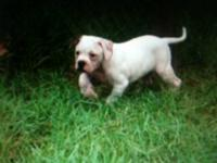 NKC American Bulldog puppies 4 Males left Brindle pup