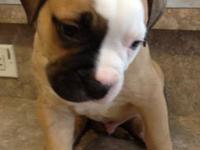 8 Week old American Bulldog Puppies ready to go to