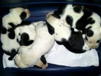 I have a stunning litter of American Bulldog puppies