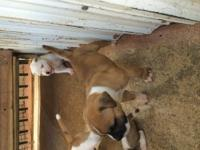 Selling American Bulldog puppies. These puppies are