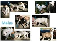 American Bulldog pups @ 8wks Tuesday 10/29. Daddy is
