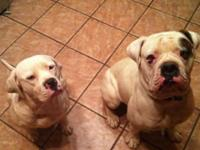 American Bulldog young puppies. There are 4 male and 3
