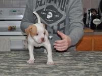 I have 3 purebred ABRA signed up American Bulldog