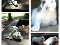 Big, healthy, fat, purebred American Bulldog puppies.