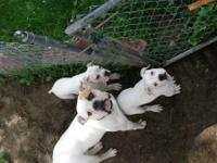 only 2 left! Two white 11wk old boys. Have shots and