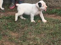I have 3 females full blooded American bulldog pups