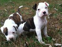 This gorgeous litter of American Bulldog puppies are