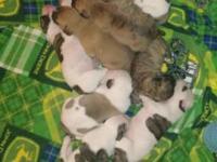 Wild Irish Bullies welcomed 11 very healthy pups on