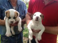 FOR SALE -. Beautiful American Bulldog Puppies born May