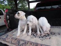 Beautiful American Bulldog puppies,CKC, 3 females to