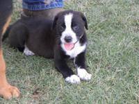 American Bulldog - Puppies - Large - Baby - Female -